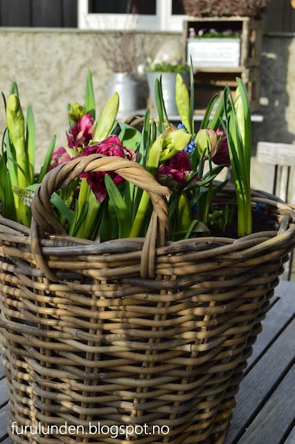 Tulipaner, narsisser og perleblomster i krukke
