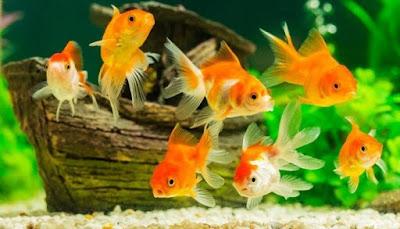 Tips Memelihara Ikan Mas Koki dengan Baik