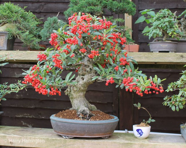 bonsai tree names and pictures