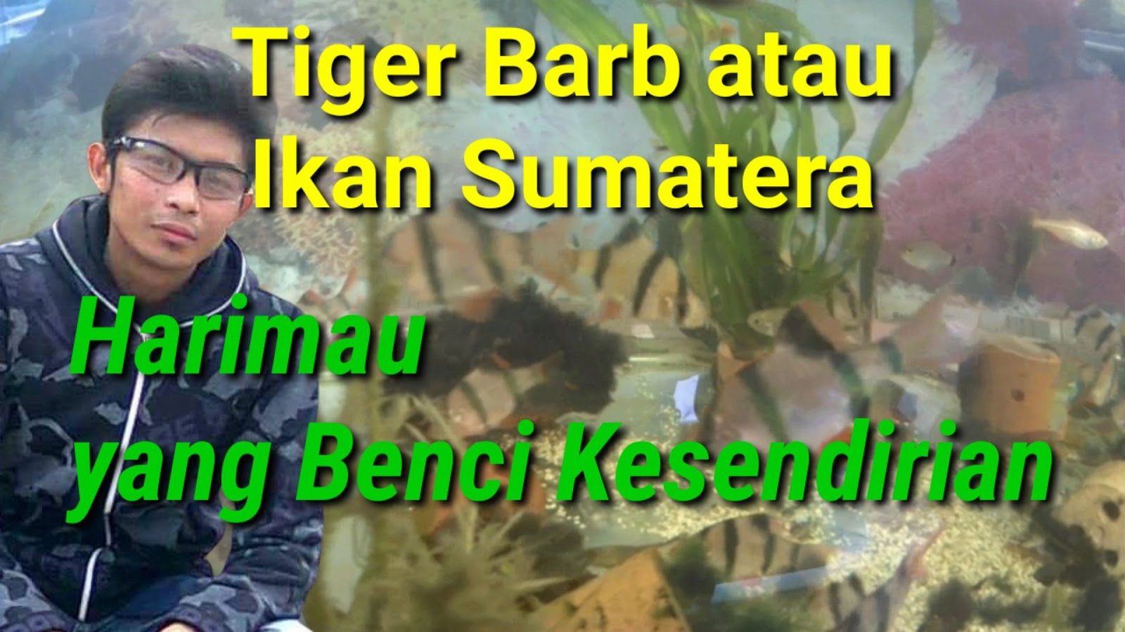 Ikan Tiger Barb atau Ikan Sumatera,Harimau yang Benci Kesendirian
