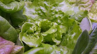 Green radicchio