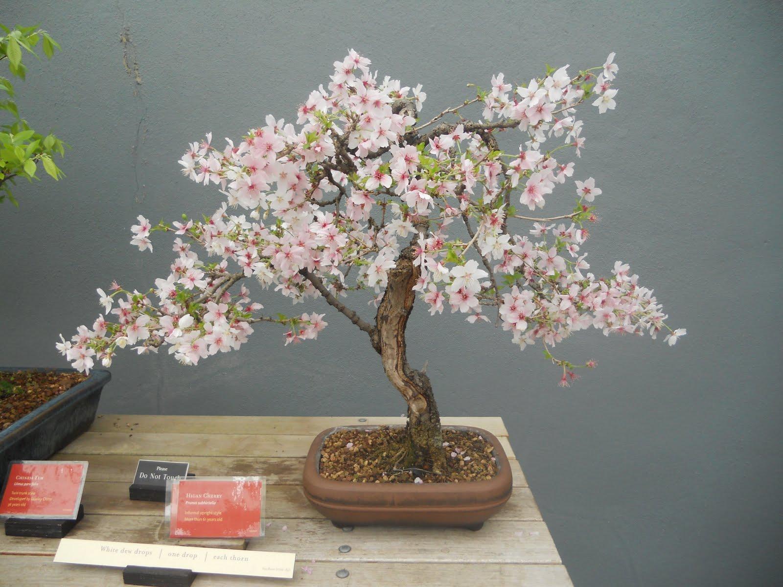 Bonsai Tree 27 Beautiful Japanese Cherry Blossom Bonsai Tree For Sale Photos