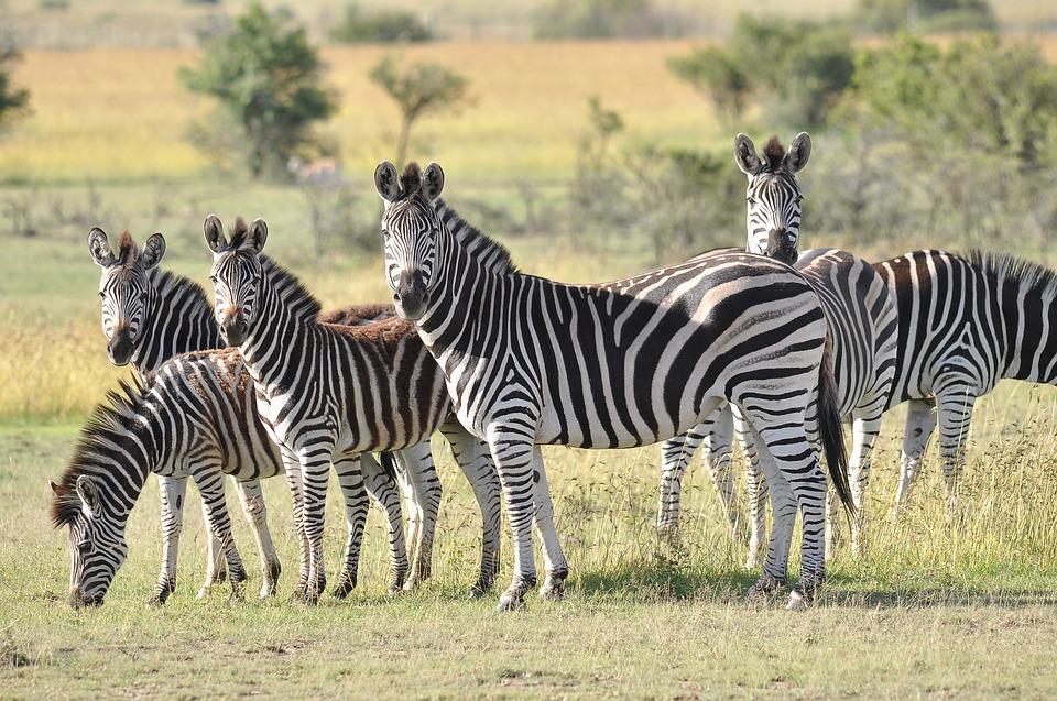 fakta kuda zebra
