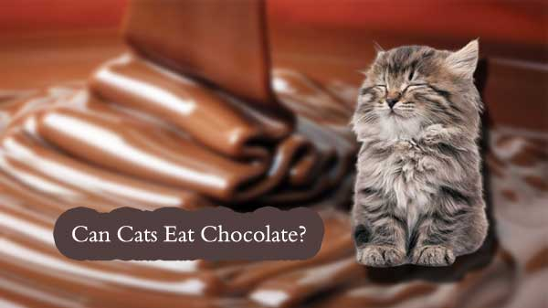 chocolates for cats