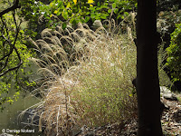 Golden grass seed heads by pond - Ueno Park, Tokyo, Japan
