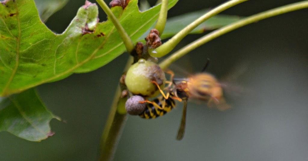 Nature Posts Pip Galls  Pandemonium in the Pin Oak