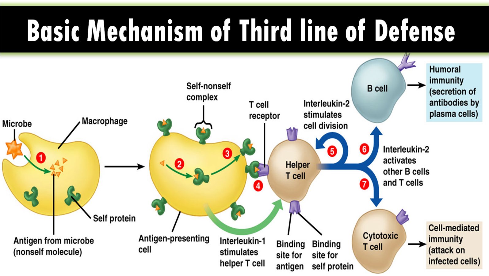 Multiple Choice on Third line of defense of immune system