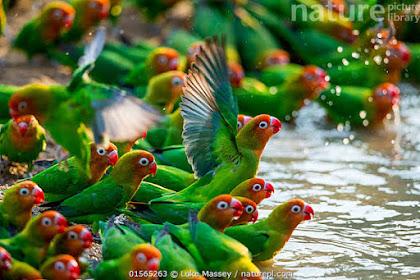 4 Manfaat Mandi Hujan Untuk Lovebird Yang Ternyata Luar Biasa