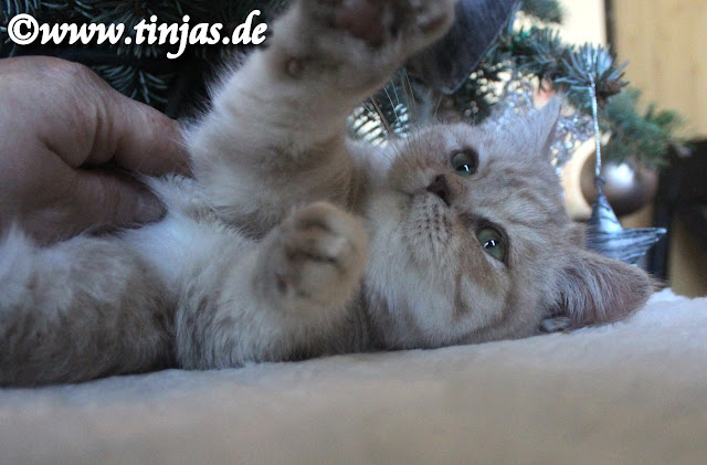 Britisch Kurzhaar Katzenbaby 1