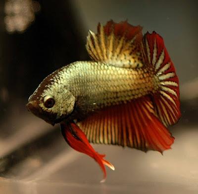 55 Jenis Ikan Cupang Lengkap Beserta Gambar Ikanesia Id