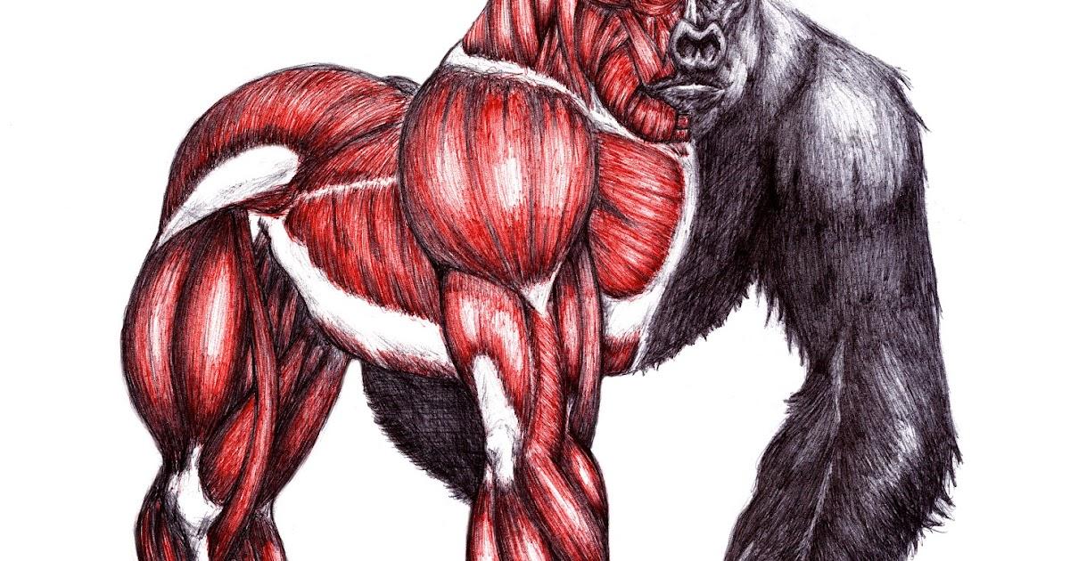Gorilla gorilla - Roberto Fernández Vallbona