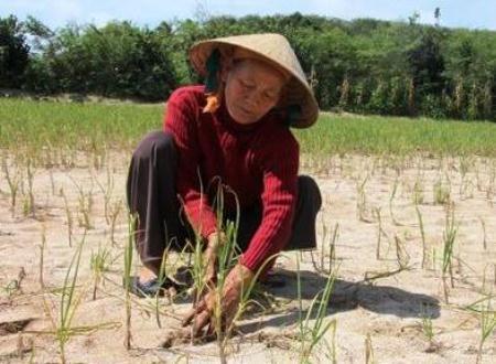Người trồng tỏi khóc ròng trên ruộng tỏi đến lúc thu hoạch.