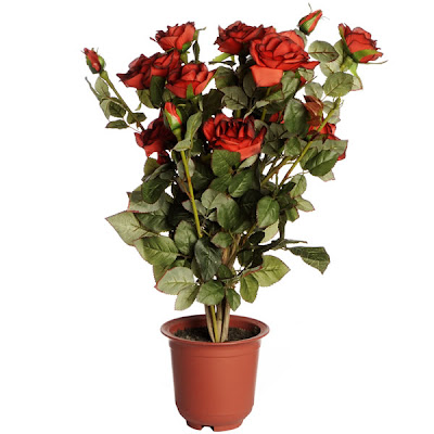 Apartment Plants Rose Bush Roses Best Plants for Apartment Balcony Patio Outdoor