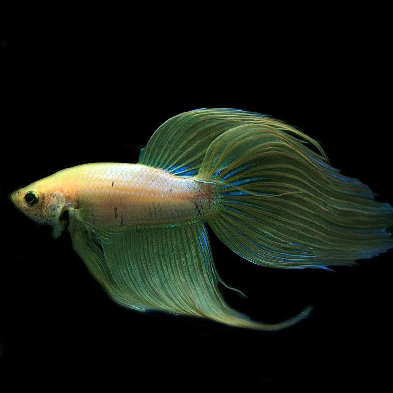 Image Top Yellow Betta Fish Choices