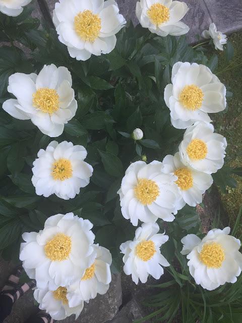 White peonies in full bloom