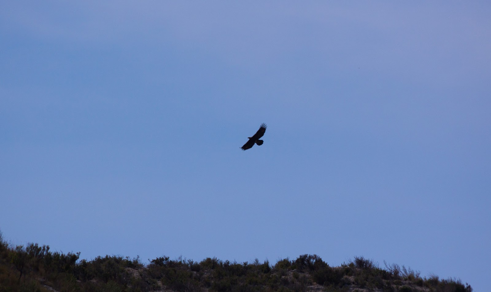 Golden Eagle - Spain