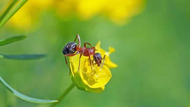 Karıncalar Neden Süper Organizmalardır?