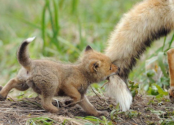 Baby Animals: Baby Fox