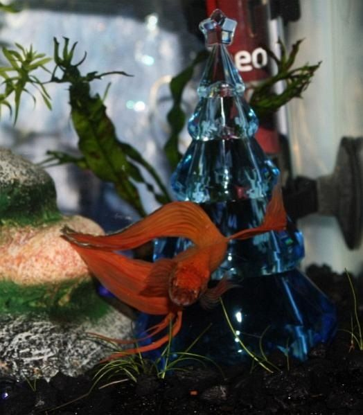 Image Betta Fish Christmas Ornaments By bettafish