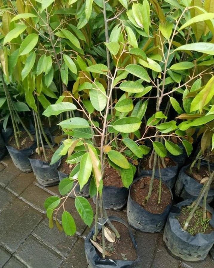 bibit durian montong kaki 3 hasil okulasi cepat berbuah Kota Administrasi Jakarta Barat