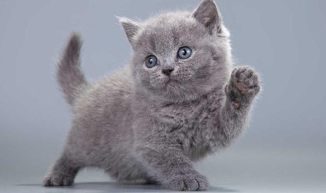 Kucing-British-Shorthair