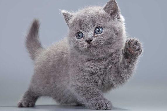Harga Kucing British Shorthair Terbaru