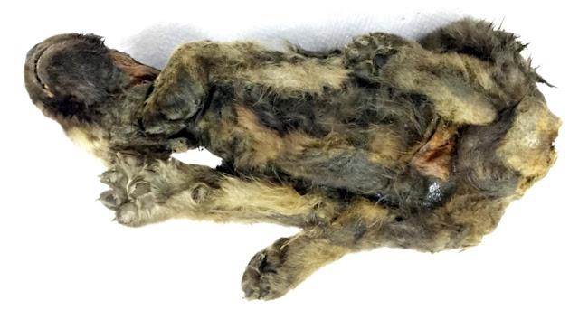 Gjendet pas 18,000 vjetësh këlyshi i qenit i ngrirë dhe i paprekur