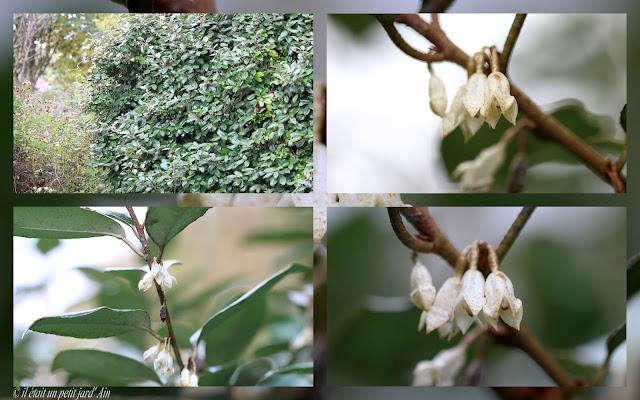arbuste parfumé persistant eleagnus ebbingei