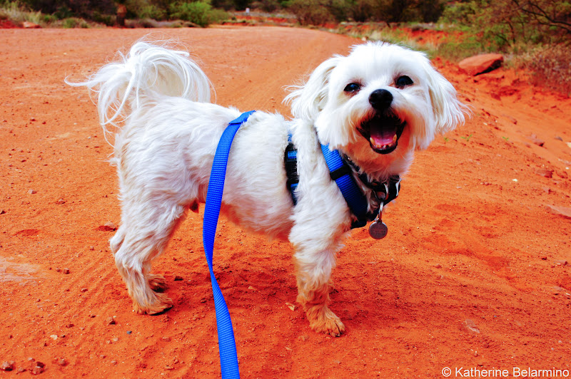 Charlie in Sedona Pet-Friendly Vacations Tips for Traveling with Dogs