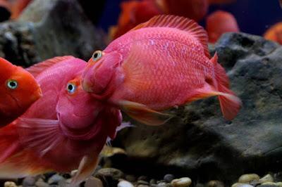 ciri ciri ikan parrot