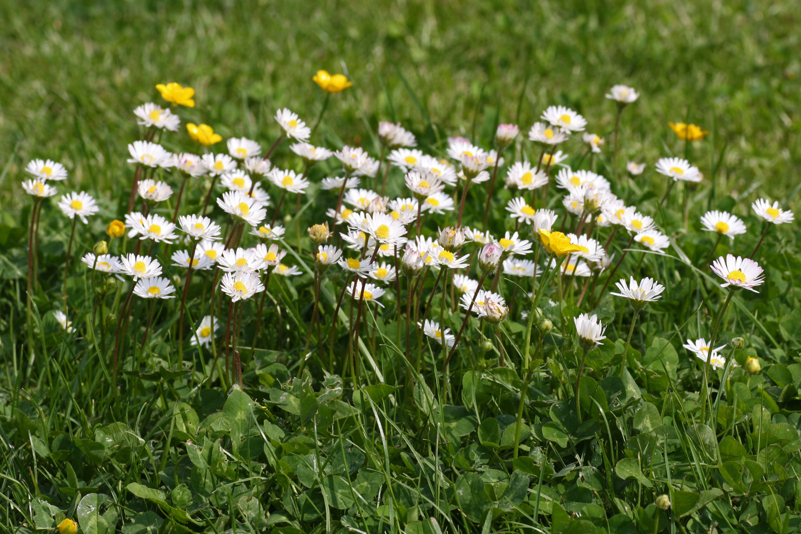What Is Daisy Bellis Perennis Benefits And Details