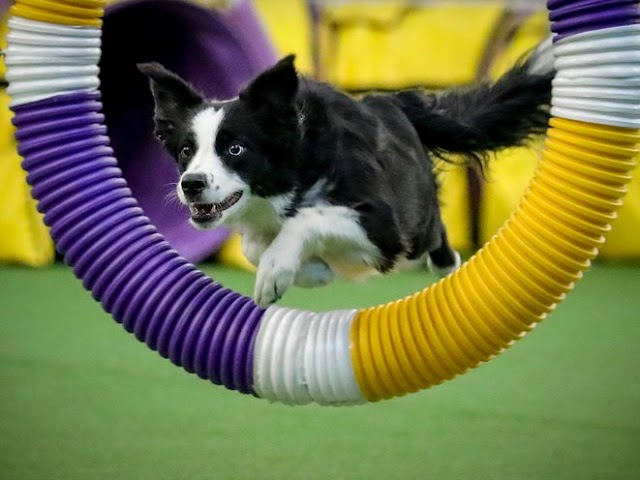 Westminster Dog Show 2020 Results