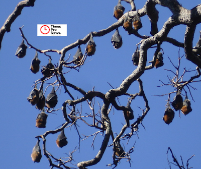 In Yamunanagar, bats built homes on trees, the complete city within the panic of Corona virus
