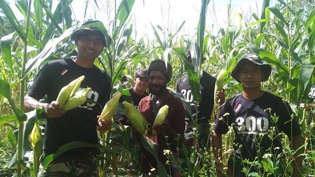 Satgas Raider 300  Bersama Masyarakat Waris - Papua  Panen Raya Jagung