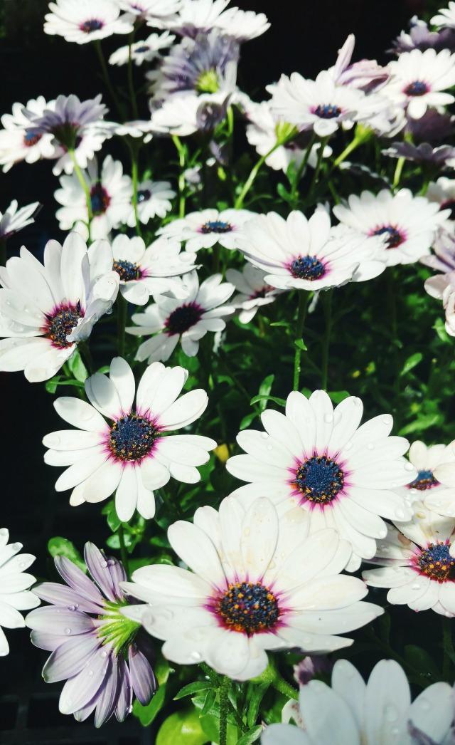 White and purple daises