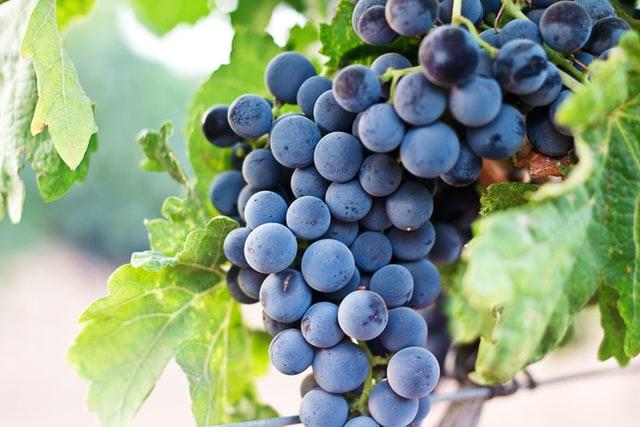 Racimo de uvas pinot noir