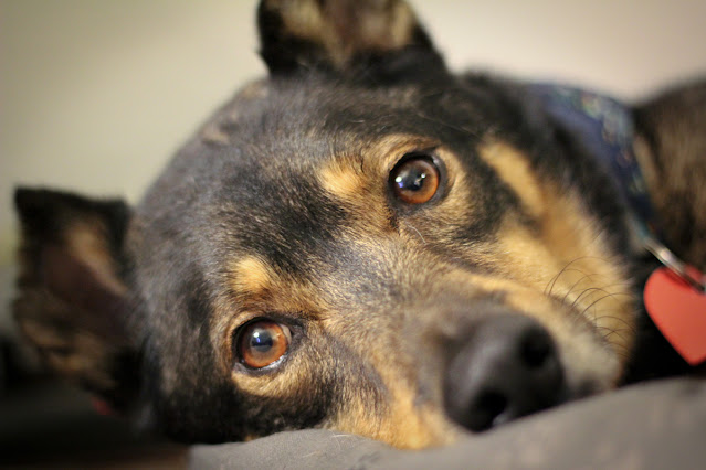 A large mixed breed (GSD/Rotti) is lying down and looks at the camera. Tips for bringing home a new shelter dog