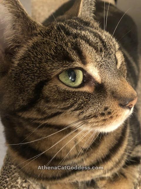 tabby cat profile gazing up