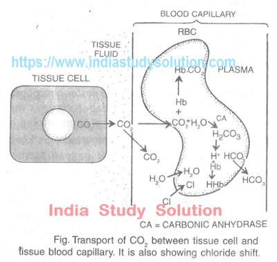 https://www.indiastudysolution.com - graphics showing transportation of CO2 between tissue cell and tissue blood capillary