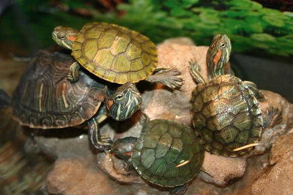Cara mengatasi kura-kura Brazil yang tidak mau makan