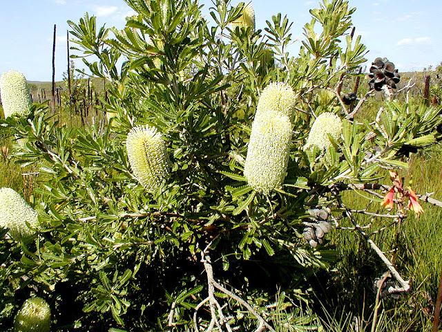 Saw Banksia Banksia serrata, New South Wales, Australia. Photo by Loire Valley Time Travel.