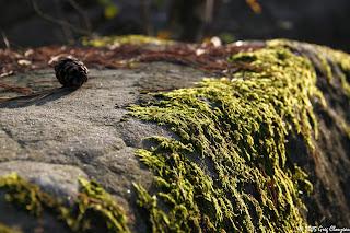 mousse mâle sur rocher, Fontainebleau, (C) 2015 Greg Clouzeau