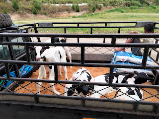 PT Ultra Sumatera Dairy Farm