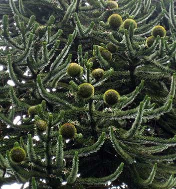 The Devil And The Monkey Puzzle Tree