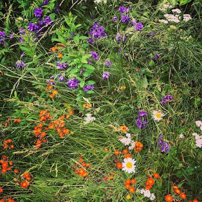 Peurankelloja ja oranssivoikeltanoita sekaisin