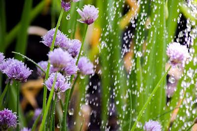 daun sukulen rontok akibat kebanyakan menyiram