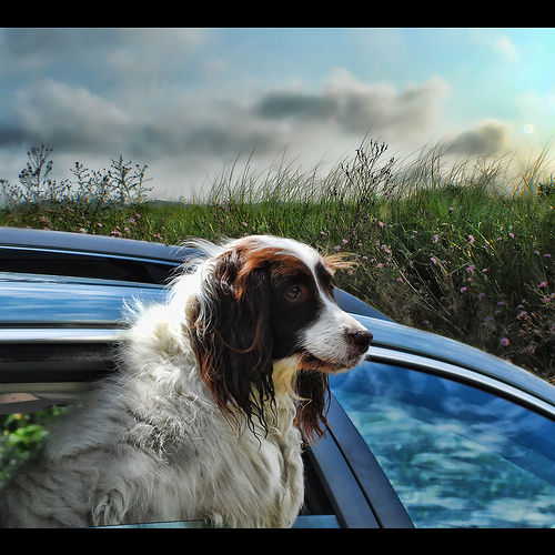 If They Could Talk: HOW TO CURE YOUR DOG'S CAR SICKNESS