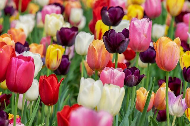 Multicolore tulip-flower image