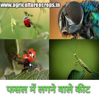 अरहर की फसल में लगने वाले रोग व कीट और उनकी रोकथाम