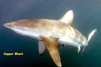 gambar ikan hiu jenis copper shark